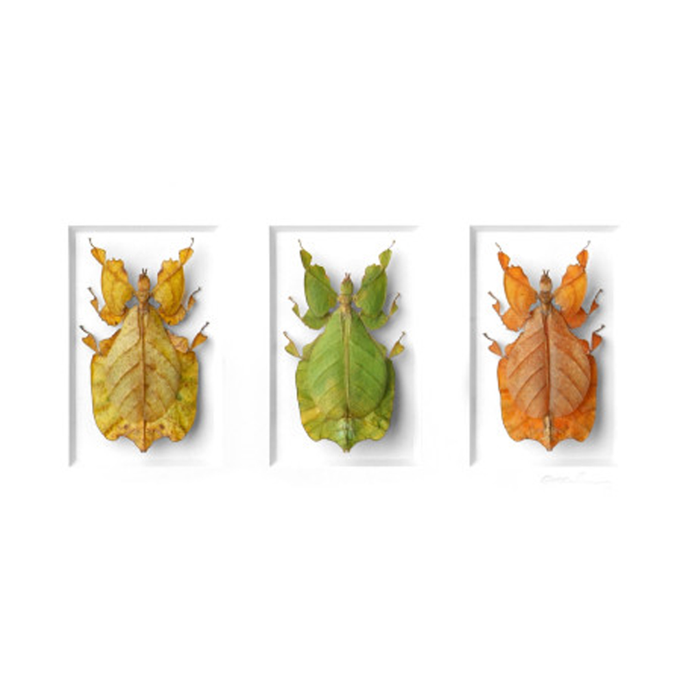Walking Leaf Cycle  by Christopher Marley