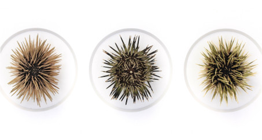Spined Urchins  by Christopher Marley