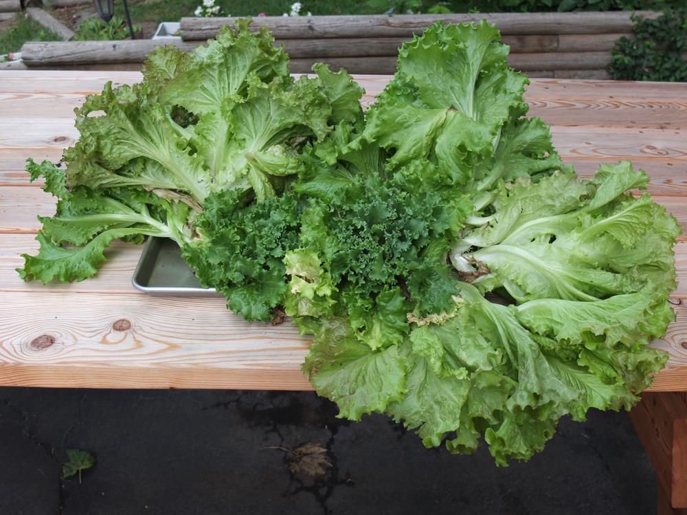 ready-to-grow-lettuce.jpg