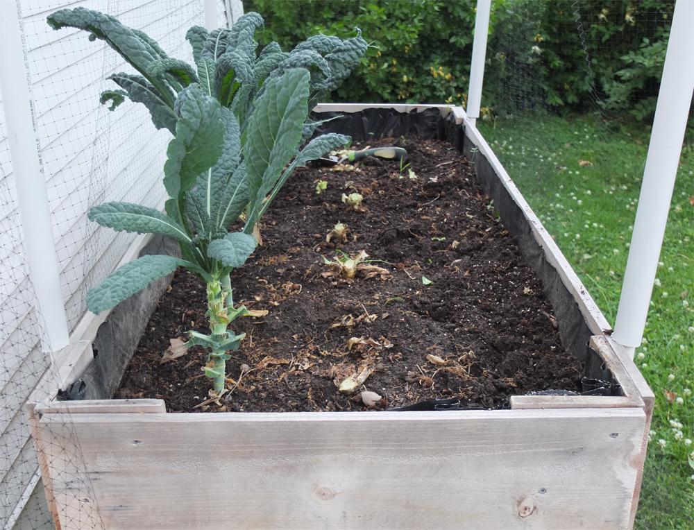 ready-to-grow-kale.jpg