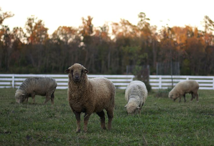 sheep on the Nordt Family Farm in Virginia