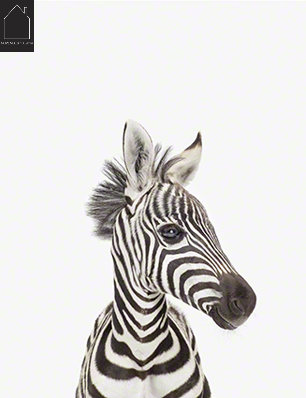 Baby Zebra Little Darling  by  The Animal Print Shop