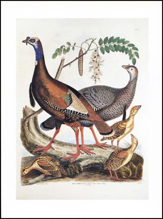 Wild Turkey Vintage Bird Print  by  Paragon Prints