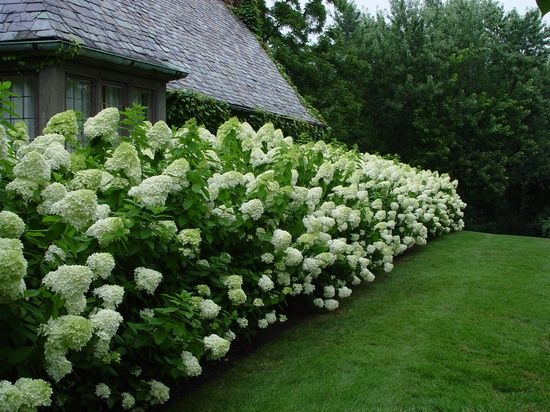 limelight hydrangeas via  Proven Winners