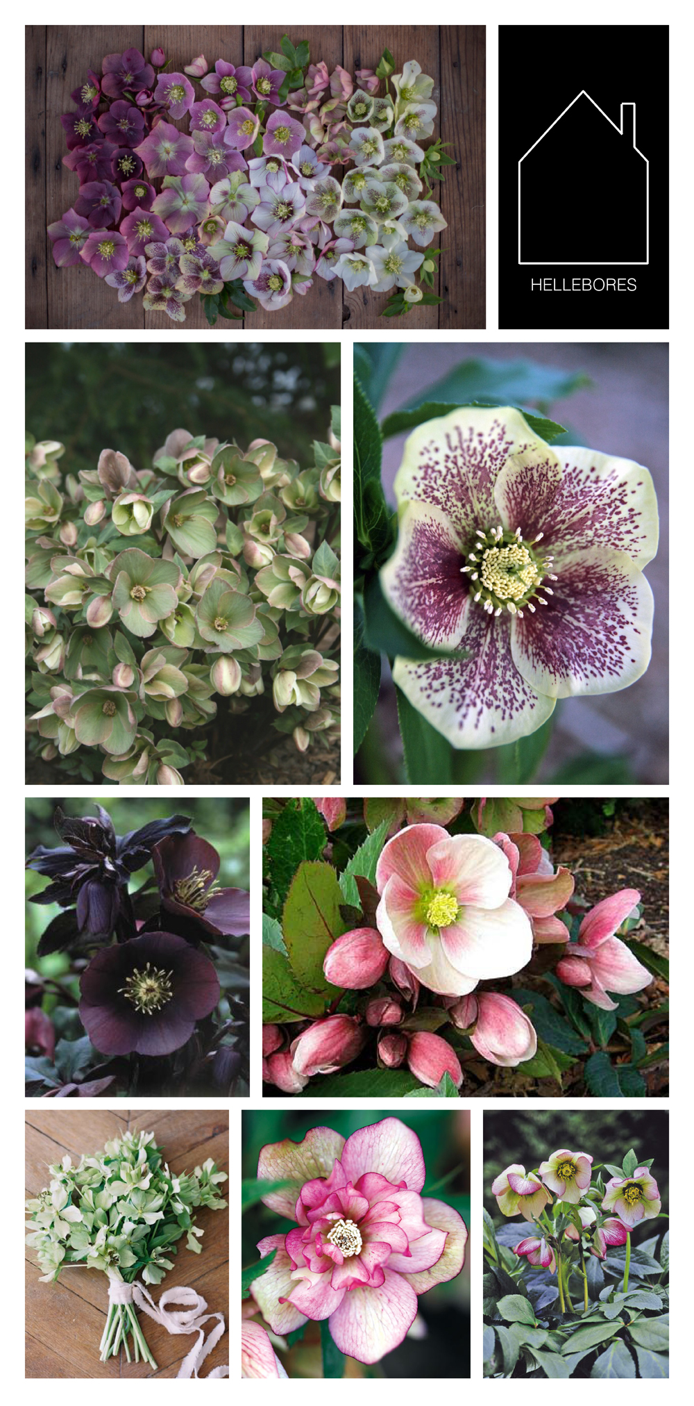 from top left: hellebores display via  Floret  - ivory prince variety via  Plant Delight  - ice follies variety via  Conrad Art Glass & Garden  - blue lady variety via  VonBloem Gardens  - source unknown - ivory prince bouquet via  Once Wed  - peppermint ice via  Canadian Gardening  -picotee lady variety via  Skagit Gardens