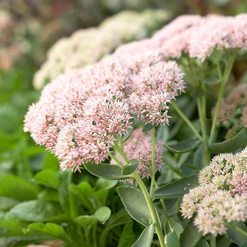 flower feature: autumn joy sedums  august 28, 2015