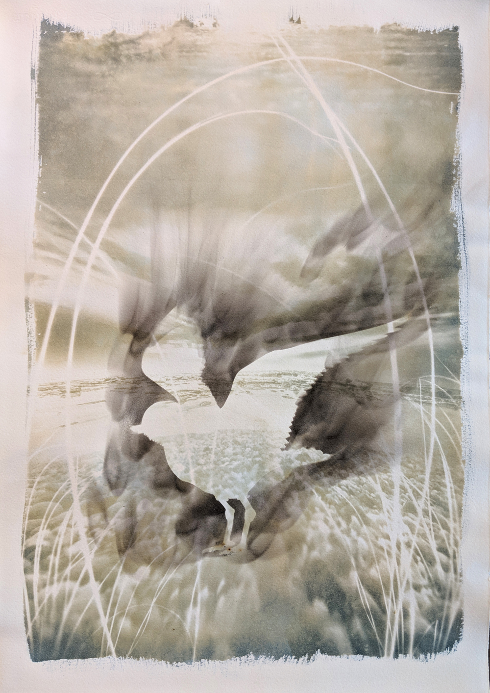 """- Piping Plover2019Cyanotype and candle soot, 15x22""""$190"""