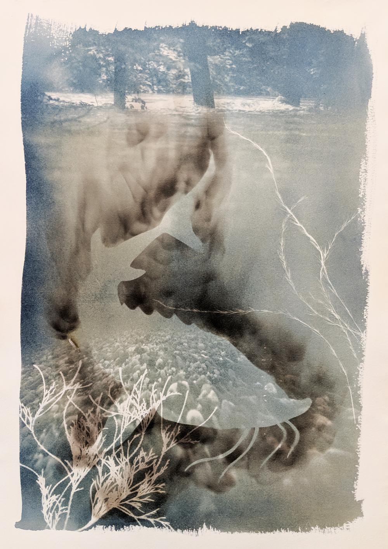 "- Pallid Sturgeon2019Cyanotype and candle soot, 15x22""$190"