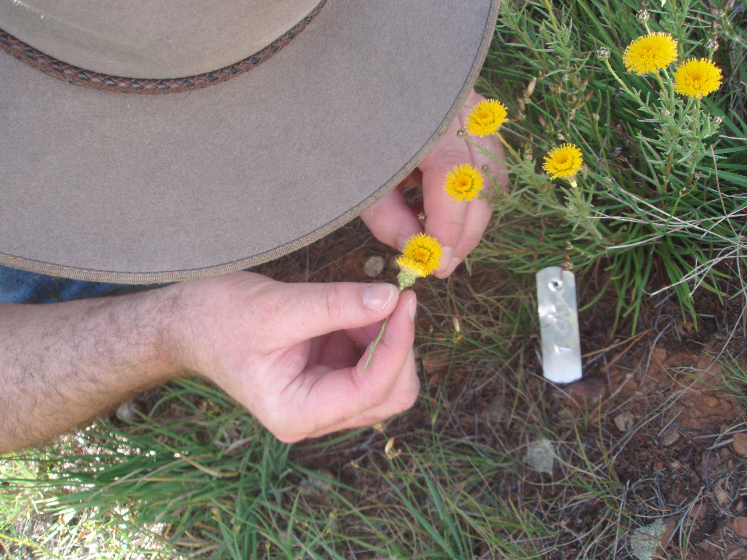 Andrew pollinating Ruditosis.JPG
