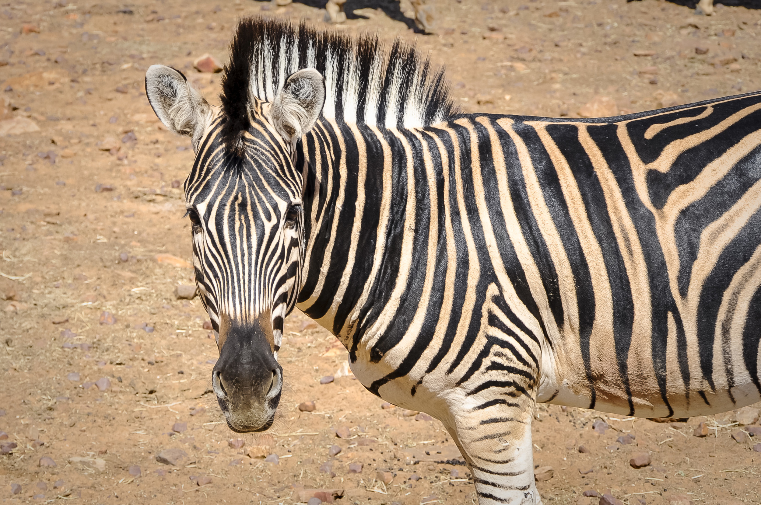 Zebra - Aquila Game Reserve
