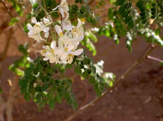 Moringa blooms