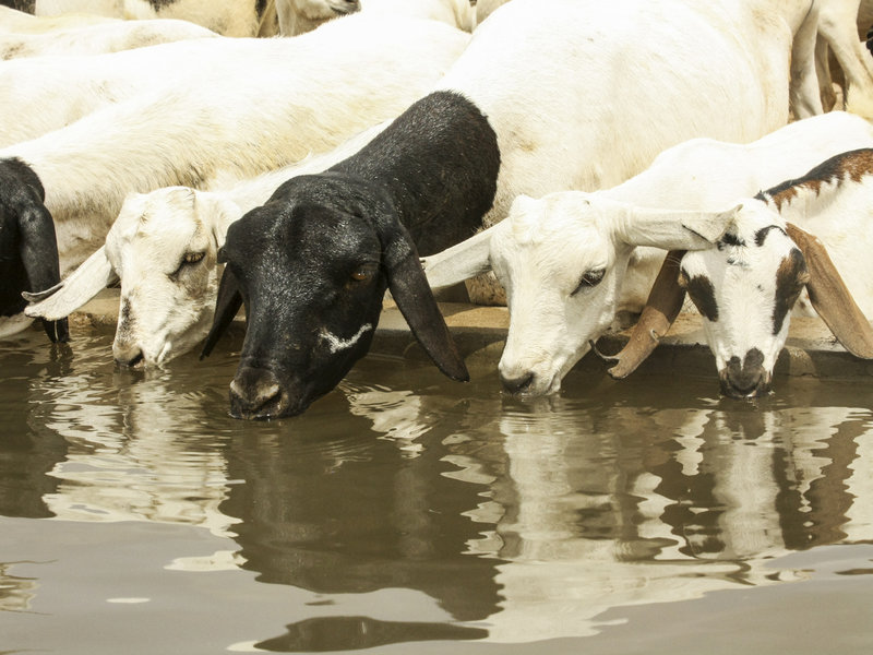 Drink as much water as you want, goats — just don't eat the soap!  Anna Ridout/Oxfam/Flickr