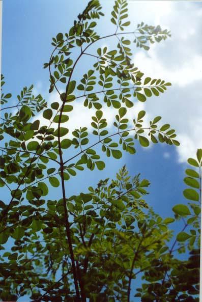 Moringa , Moringa oleifera