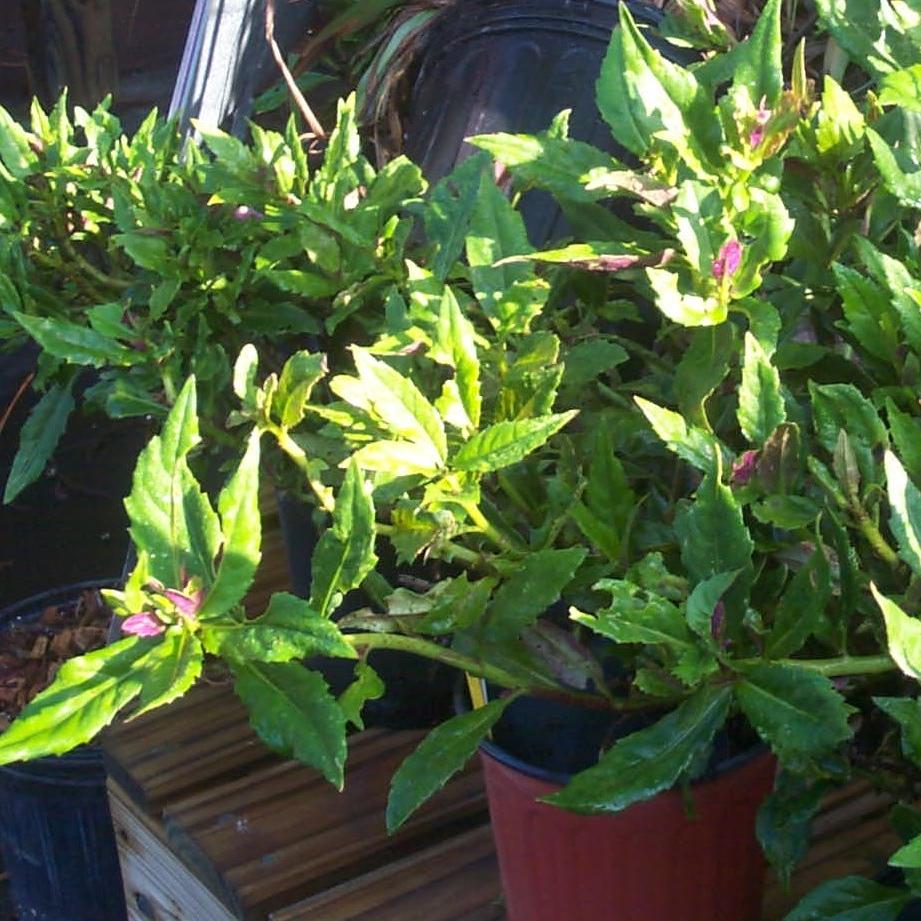 Okinawa  Spinach , Gynura  crepioides