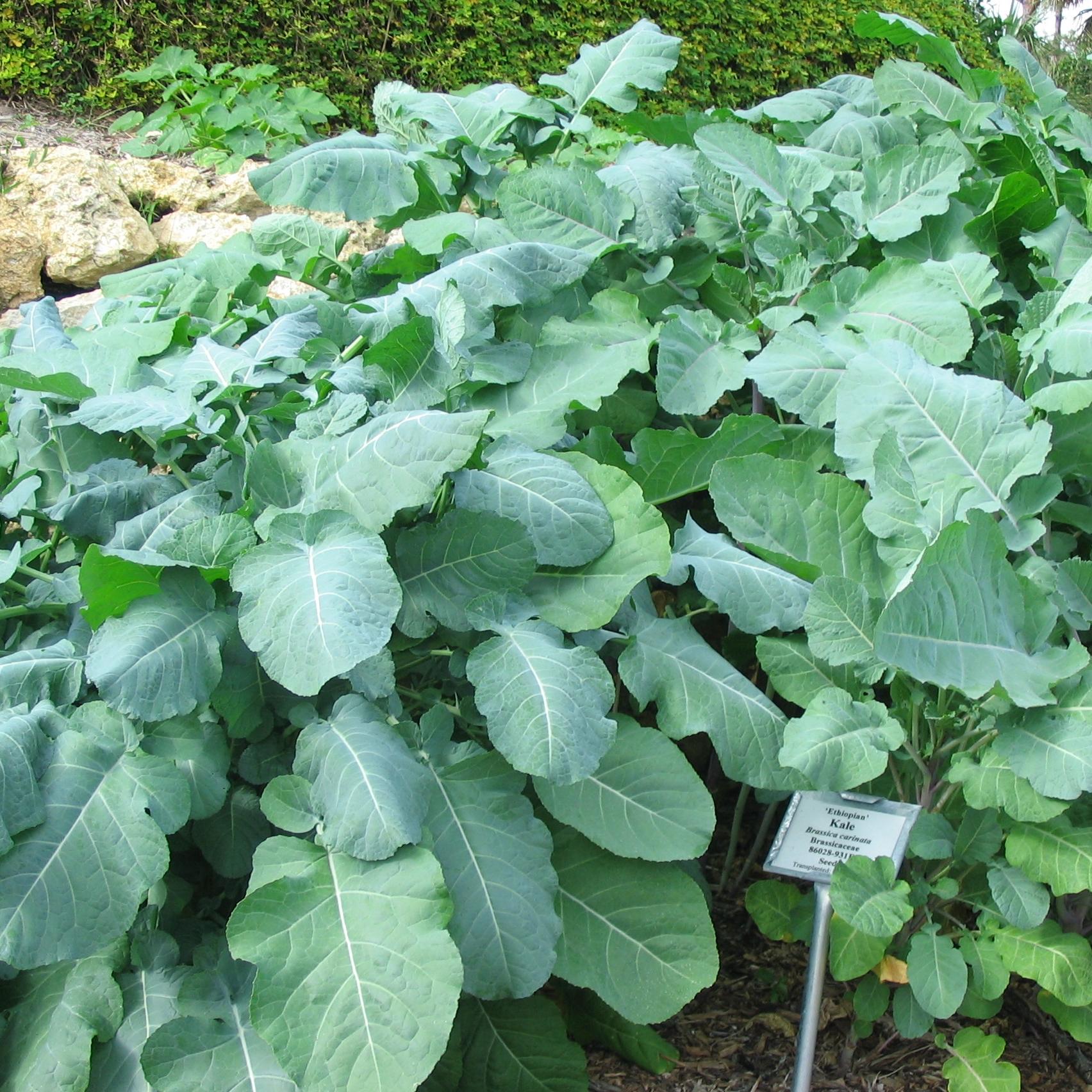 Ethiopian Kale , Brassica  carinata