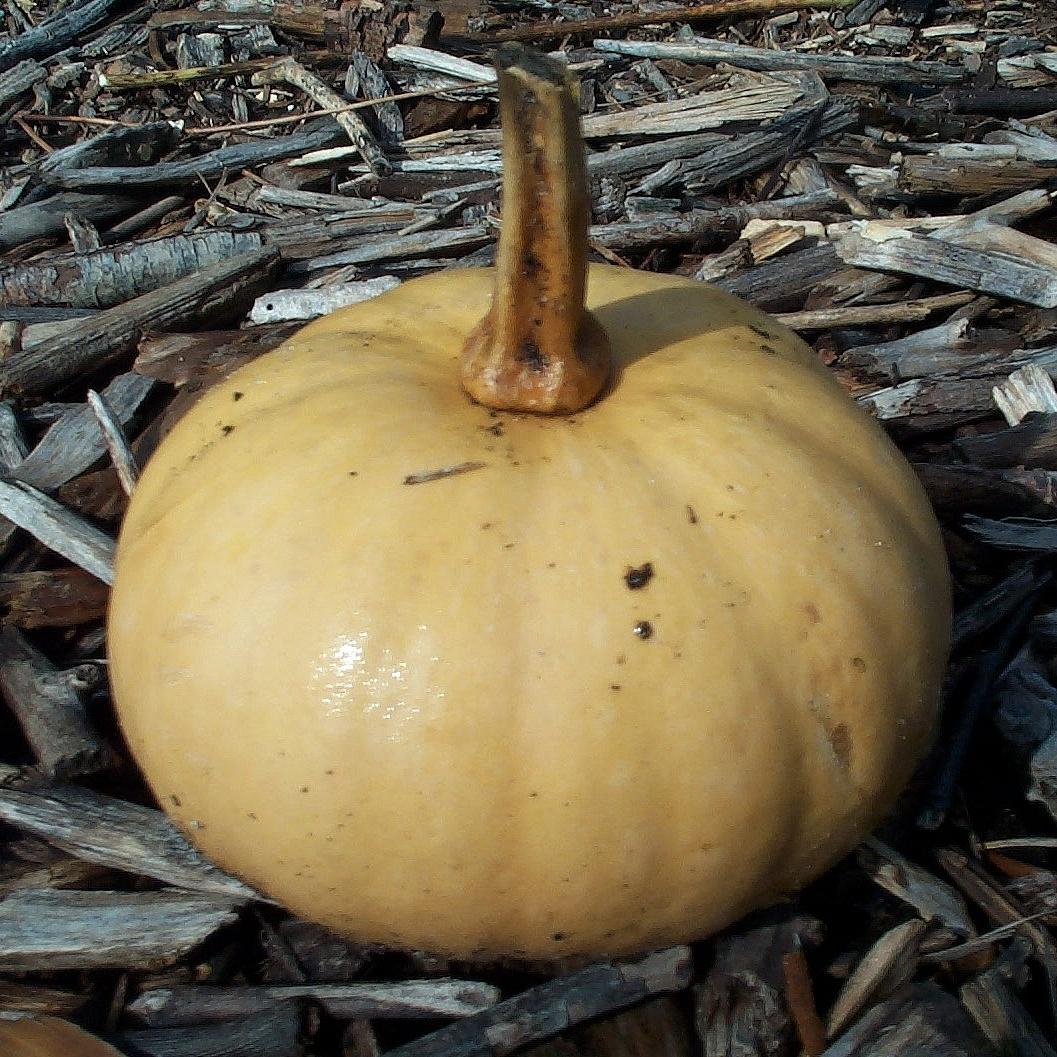 Tropical  pumpkins , Cucurbita  moschata