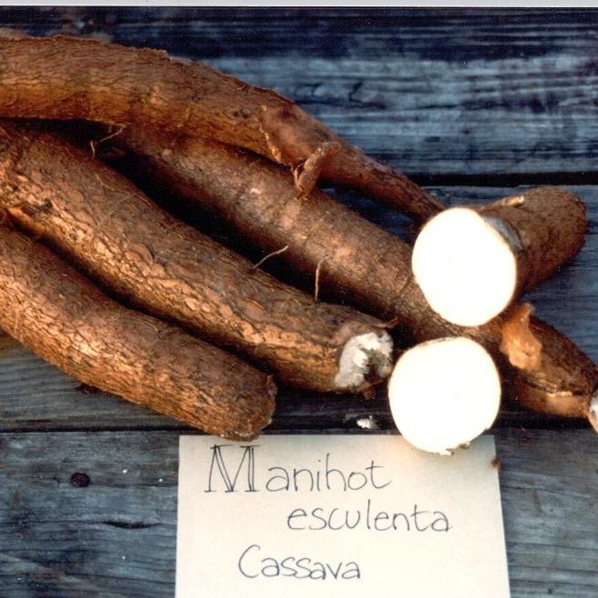 Cassava (a.k.a. Tapioca, yucca, manioc), Manihot esculenta