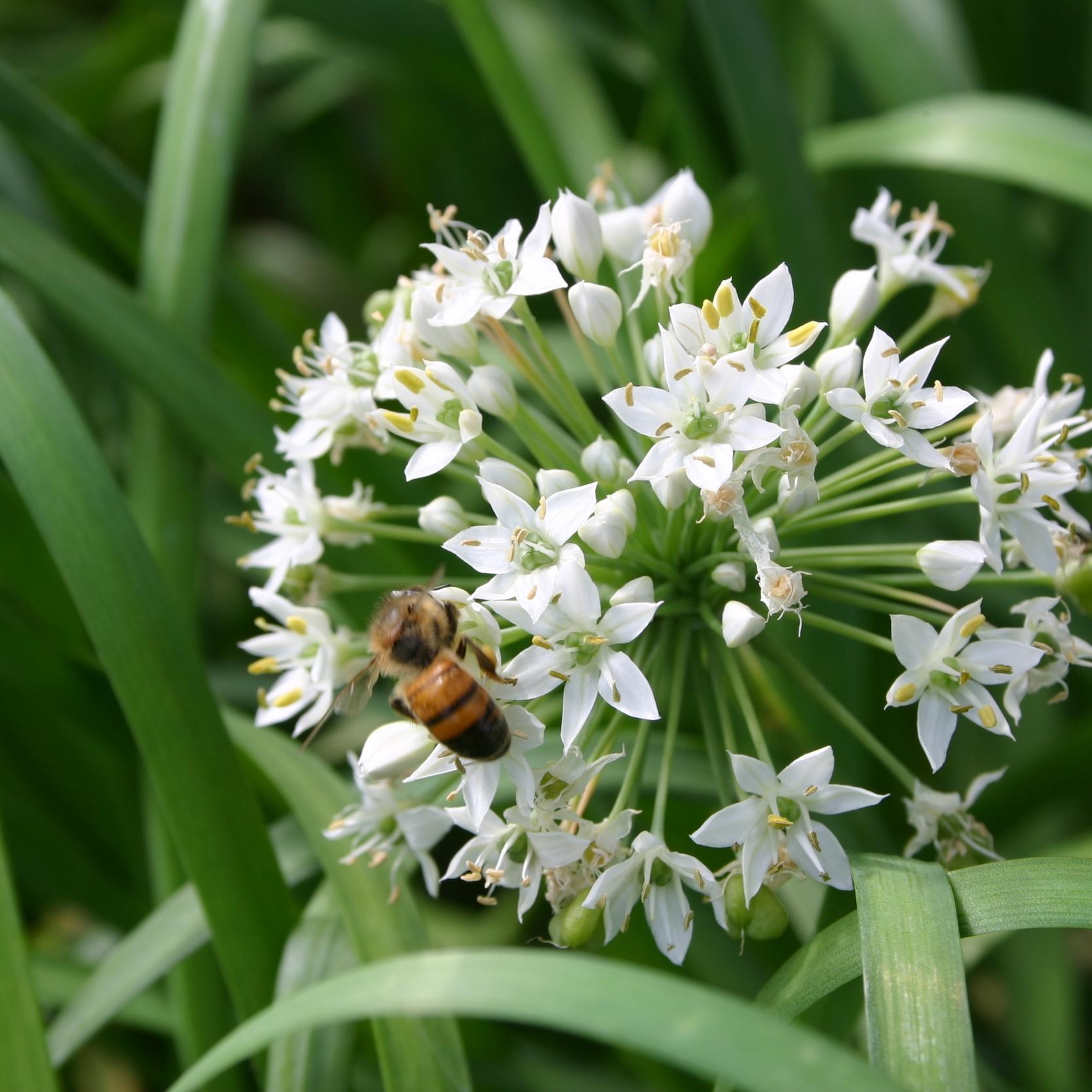 Garlic  Chives , Allium tuberosum