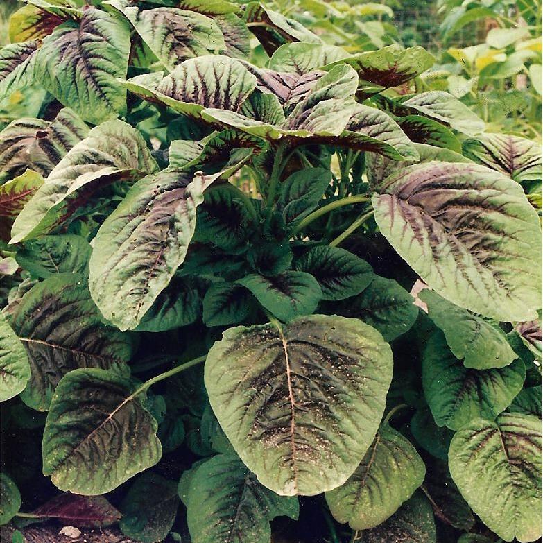 Amaranth (vegetable type), Amaranthus tricolor