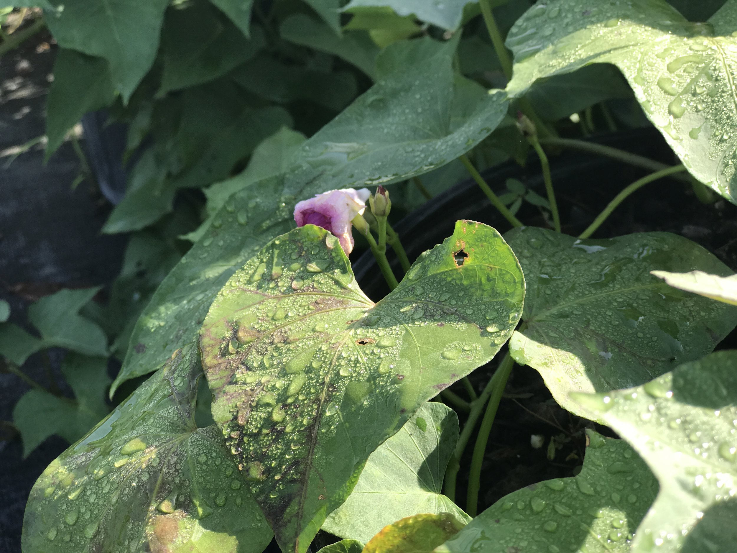 A mature sweet potato plant is flowering in the morning sun. Planted on ECHO's research farm in Fort Myers, Florida.