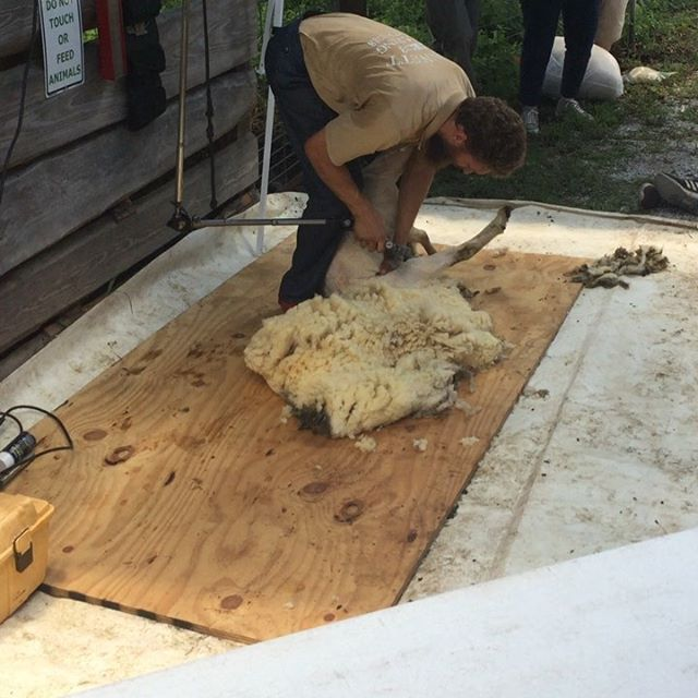 Sheep shearing seminar for the interns (and a lot of others) this afternoon at ECHO! #echofightshunger #echo #internlearning #handsonlearning #makingwool #acloseshave