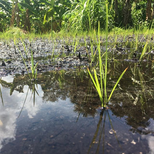 Baby rice! (doo doo doo doo doo doo) ECHO grows rice on the Florida demonstration farm to compare SRI yields to traditional paddy yields. We take risks so families who can't afford them don't have to. #sustainableagriculture #sririce  #sri #echofightshunger #lowlands #foodproduction