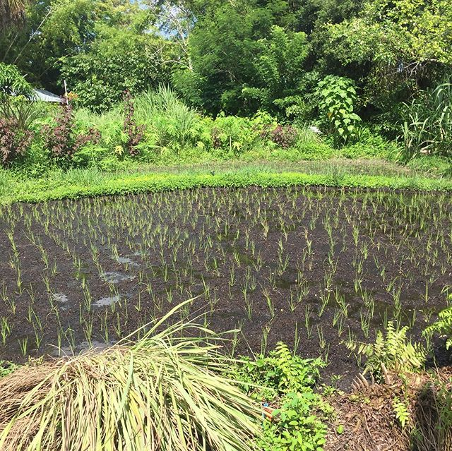 SRI (System of Rice Intensification) Part Deux: Following the steps that allow the rice tillers more room to develop without having to compete - ultimately leading to an abundant harvest! #echofightshunger #sririce #sustainableagriculture #lowlands #foodproduction #sri #tropicalagriculturedevelopment
