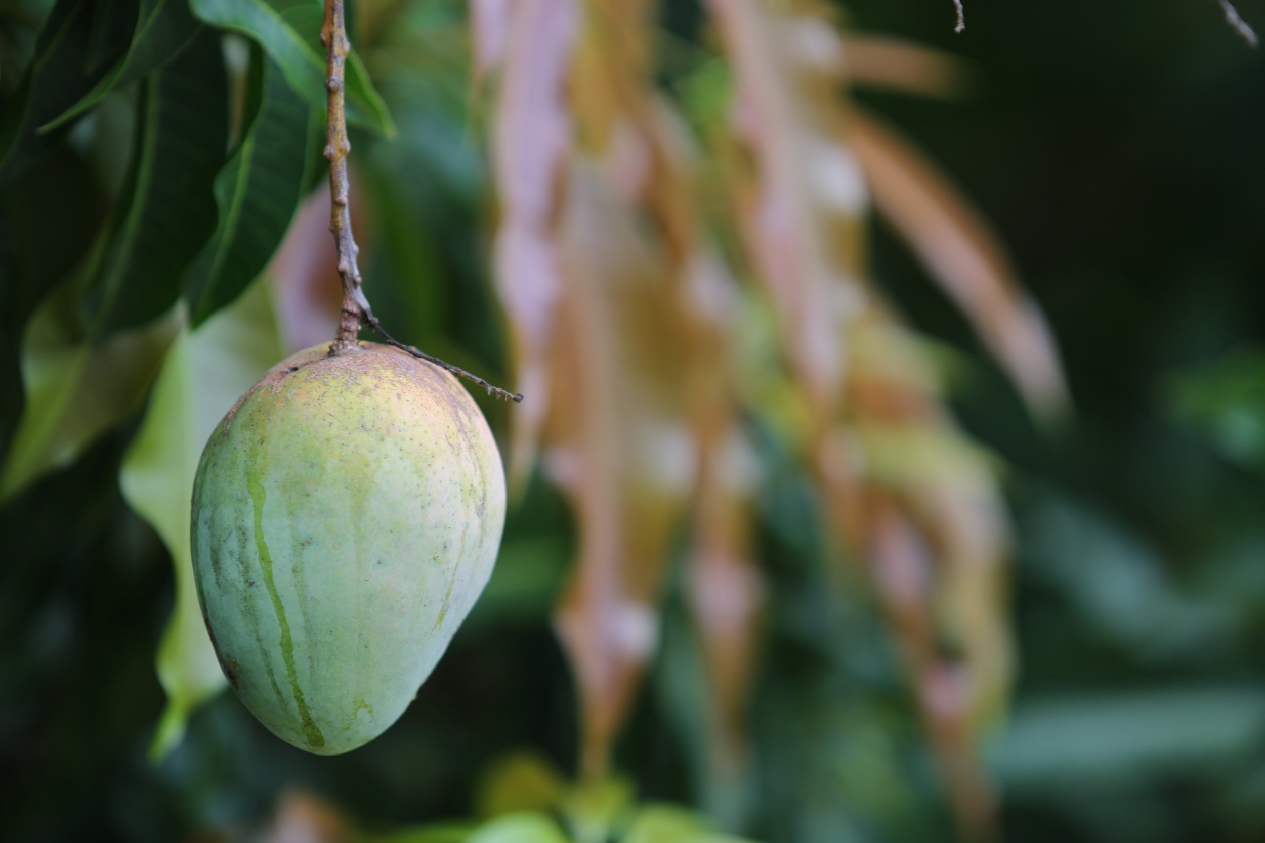 A mango hangs from a tree near the start of the tour path. Mango trees are plentiful at ECHO and line many paths on the farm.