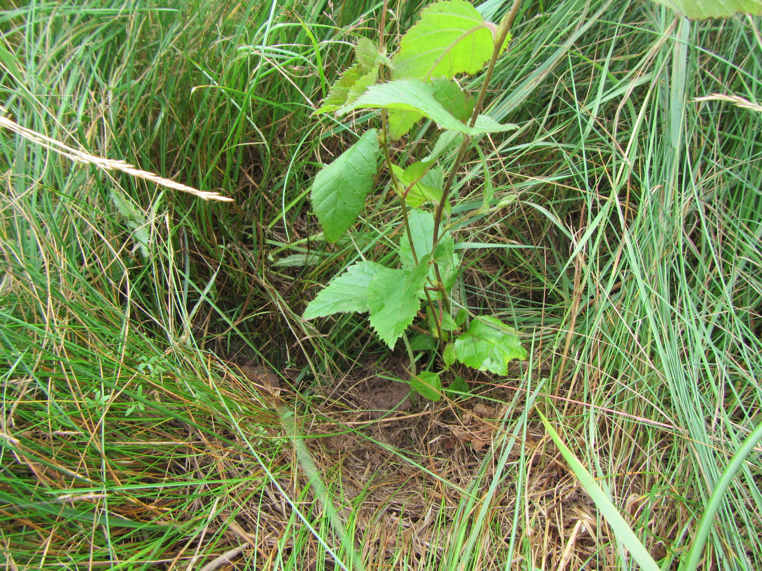 A Yellow Birch seedling after being planted along the Aucoin Brook.