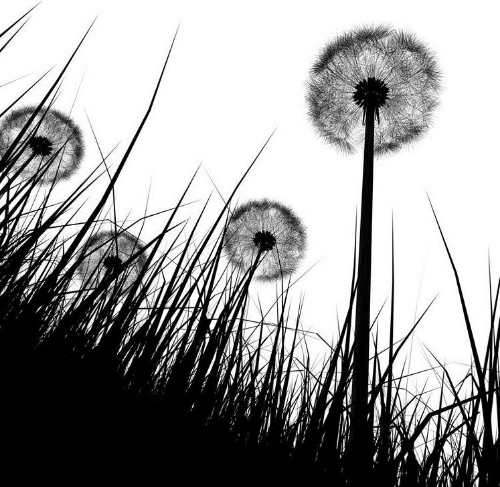 dandelion-field1.jpg