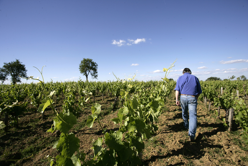 The rare Duras vines of Bernard Plageoles in Gaillac (photo courtesy of Isabelle Rosembaum)