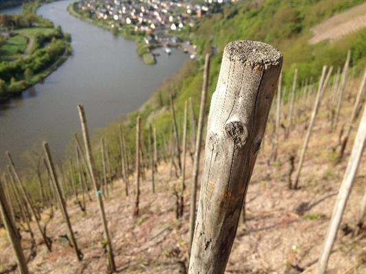 The dizzying pitch of the Schoenfels vineyard drops straight down to the Saar river. (photo by Stephen Bitterolf)