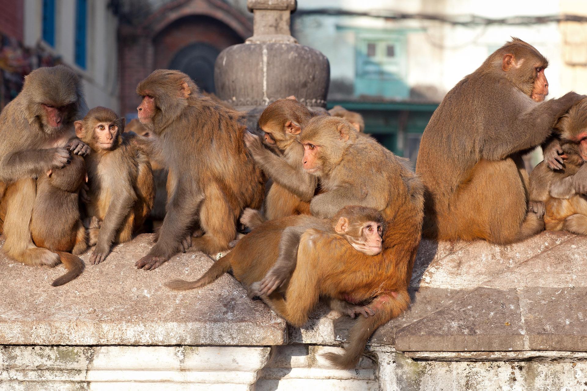 Nepal-Kathmandu-Travel-Swayambhunath-Buddhism-Temple-Monkey.JPG
