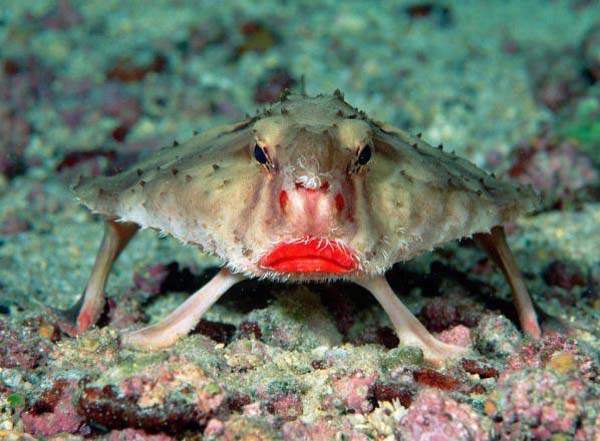 Red-Lipped Batfish doesn't swim but crawls on its fins around the Galapagos Islands.jpg