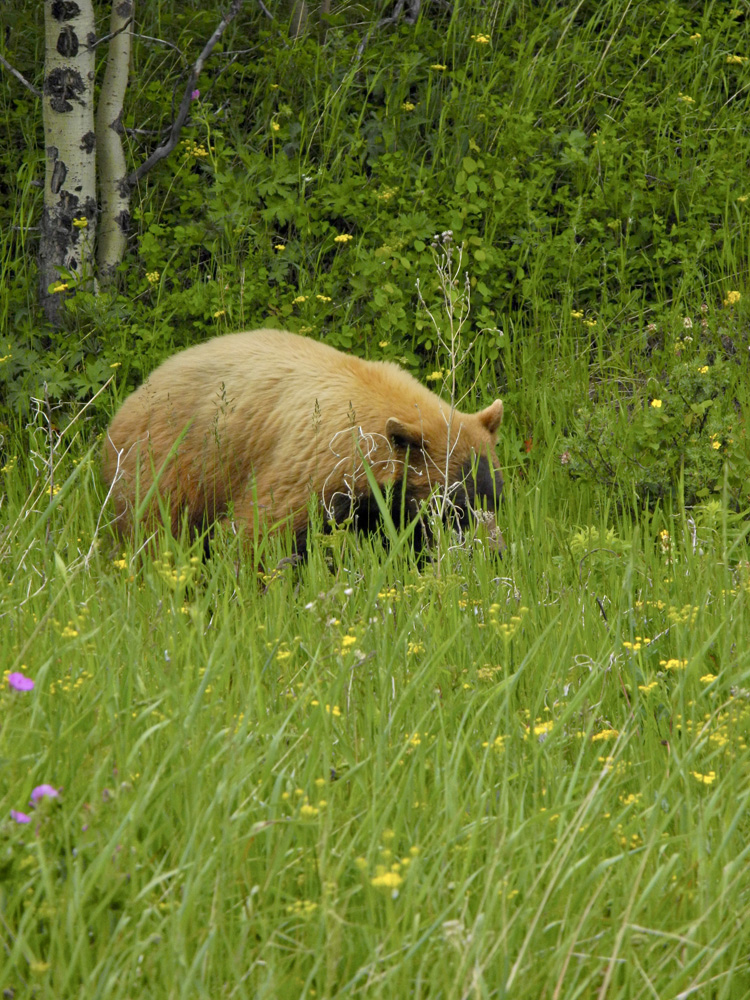 Cinnamon black bear grabbing a snack near the Many Glacier entrance to the park.