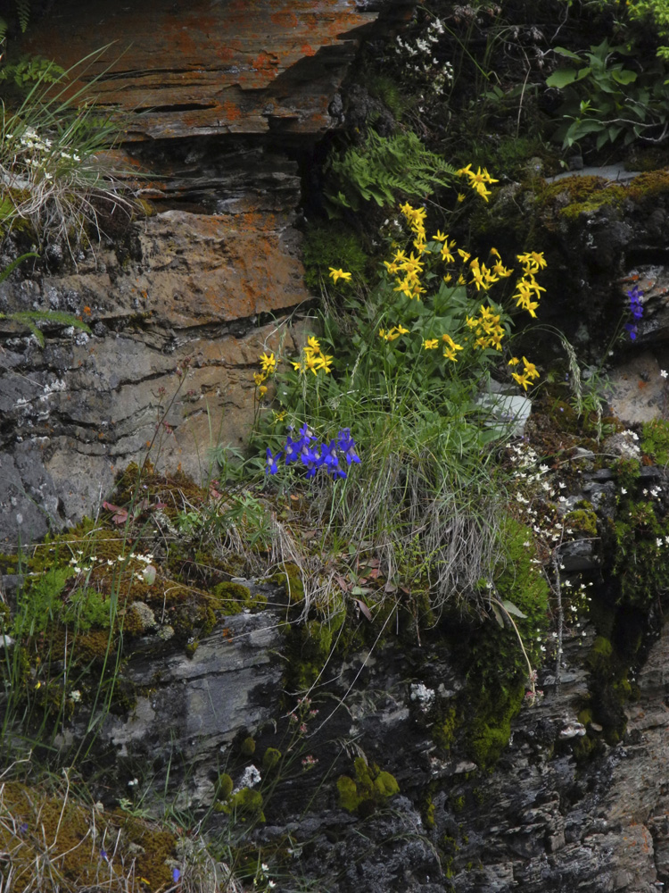 More beauties appearing out of the rock walls of Sunrift Gorge along the Going-to-the-Sun Road.