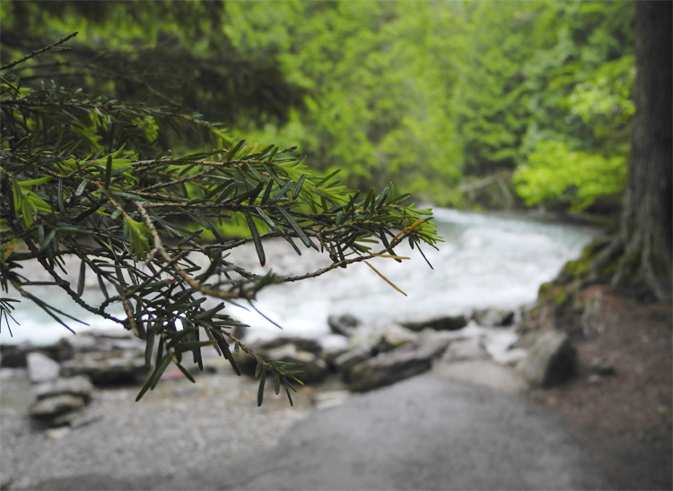 Avalanche Creek runs alongside the Trail of the Cedars.