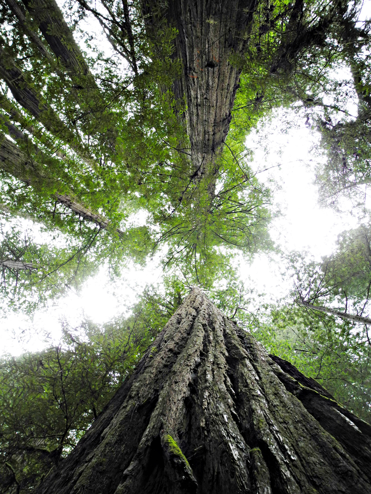 Taking in the grandeur of the tall trees in the Redwood National and State Parks - 2013