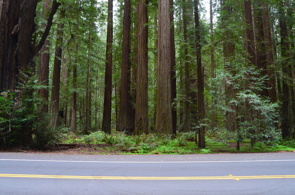 Avenue of t  he Giants // Northern California