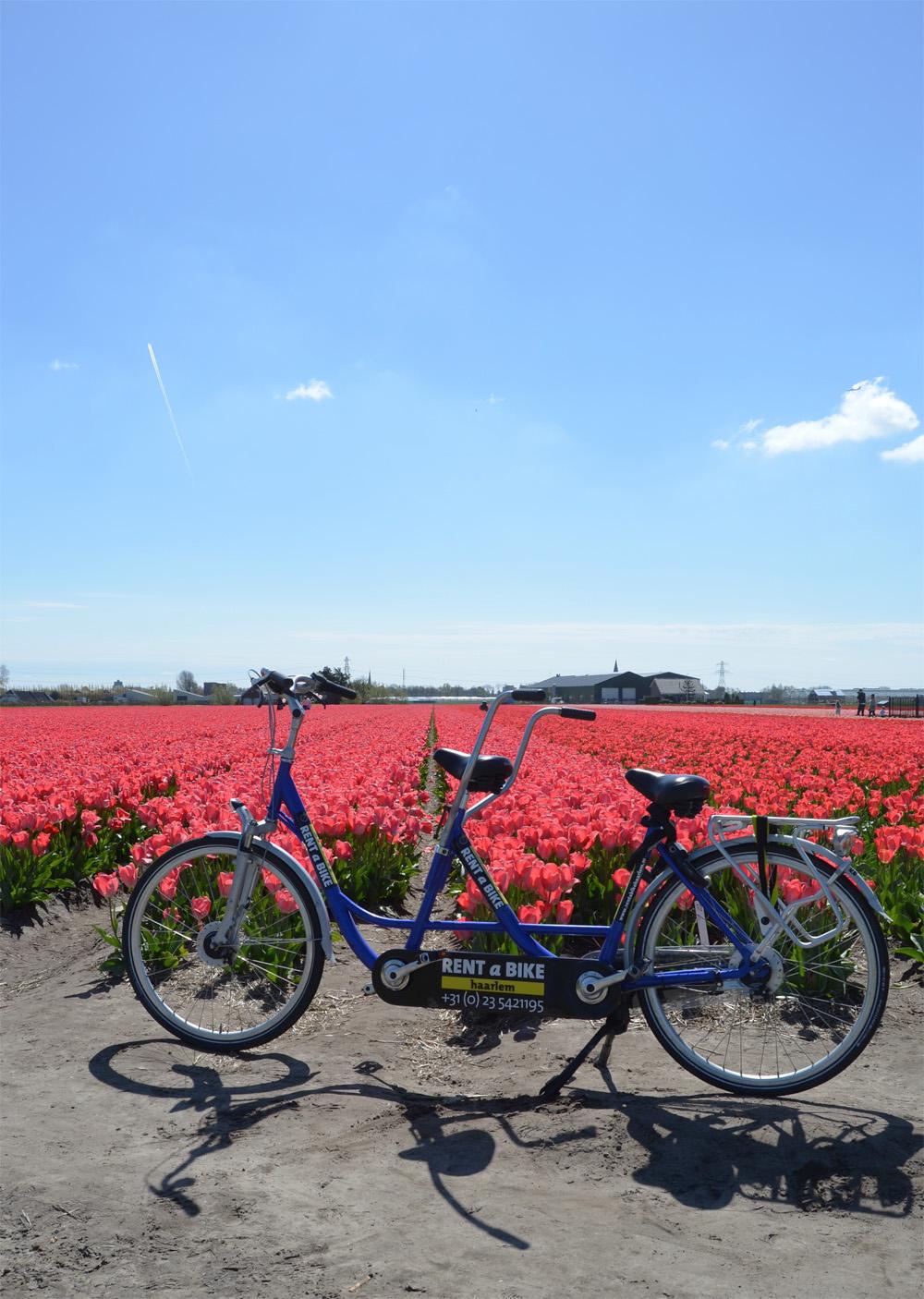 Tulip fields in the Netherlands // Haarlem