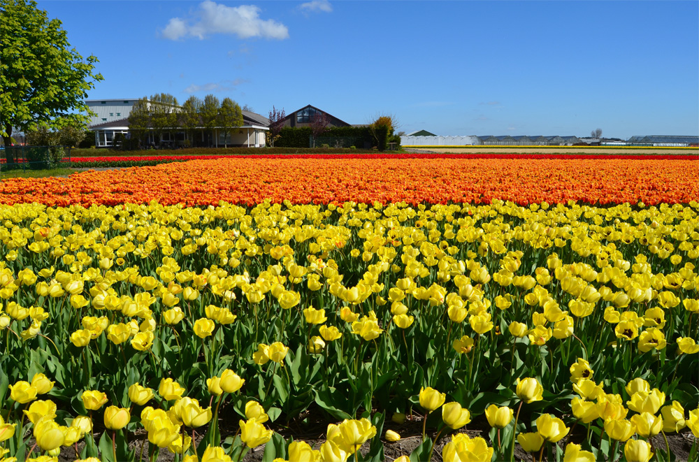 Tulip fields in the Netherlands // Haarlem