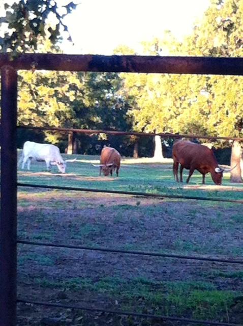 Long Horn Bulls