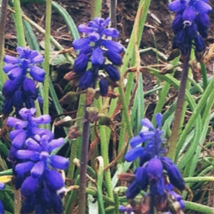 Blue Bonnets, Texas state flower! Honestly, in person these are the most beautiful purple.