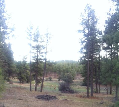 Elk Herd! San Juan National Forest, Colorado.