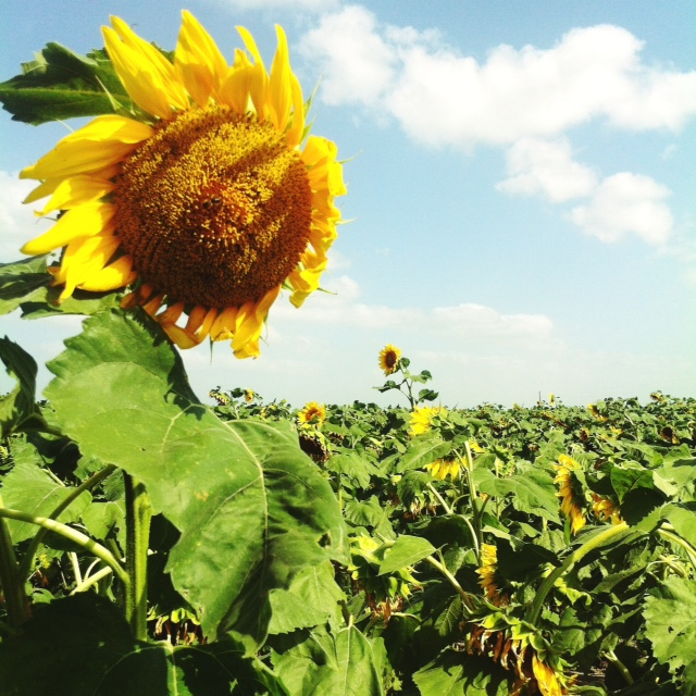 sunflower 4 - 2014.jpg