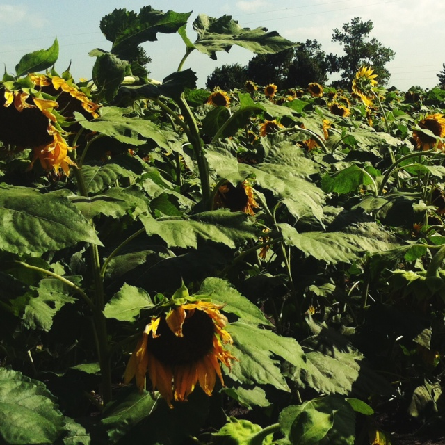 sunflower 1 - 2014.jpg