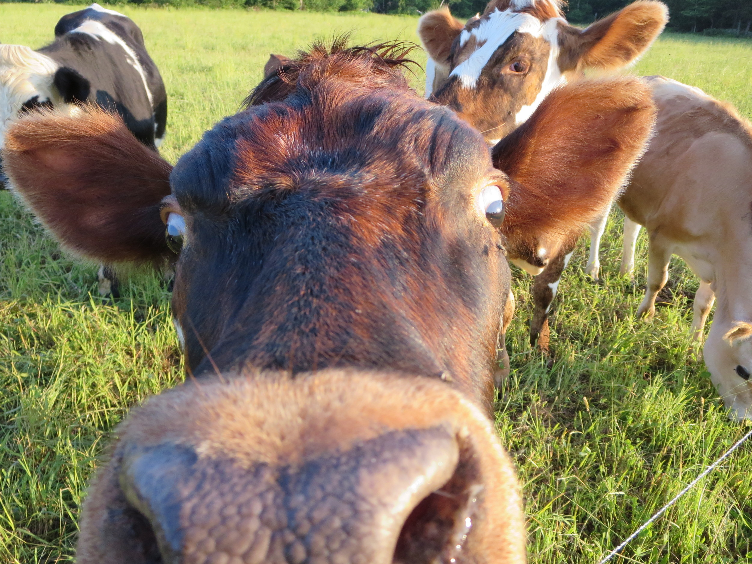 the real stars of the show are our magnificent cows    get to know them