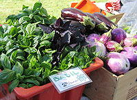 Basil and Eggplants