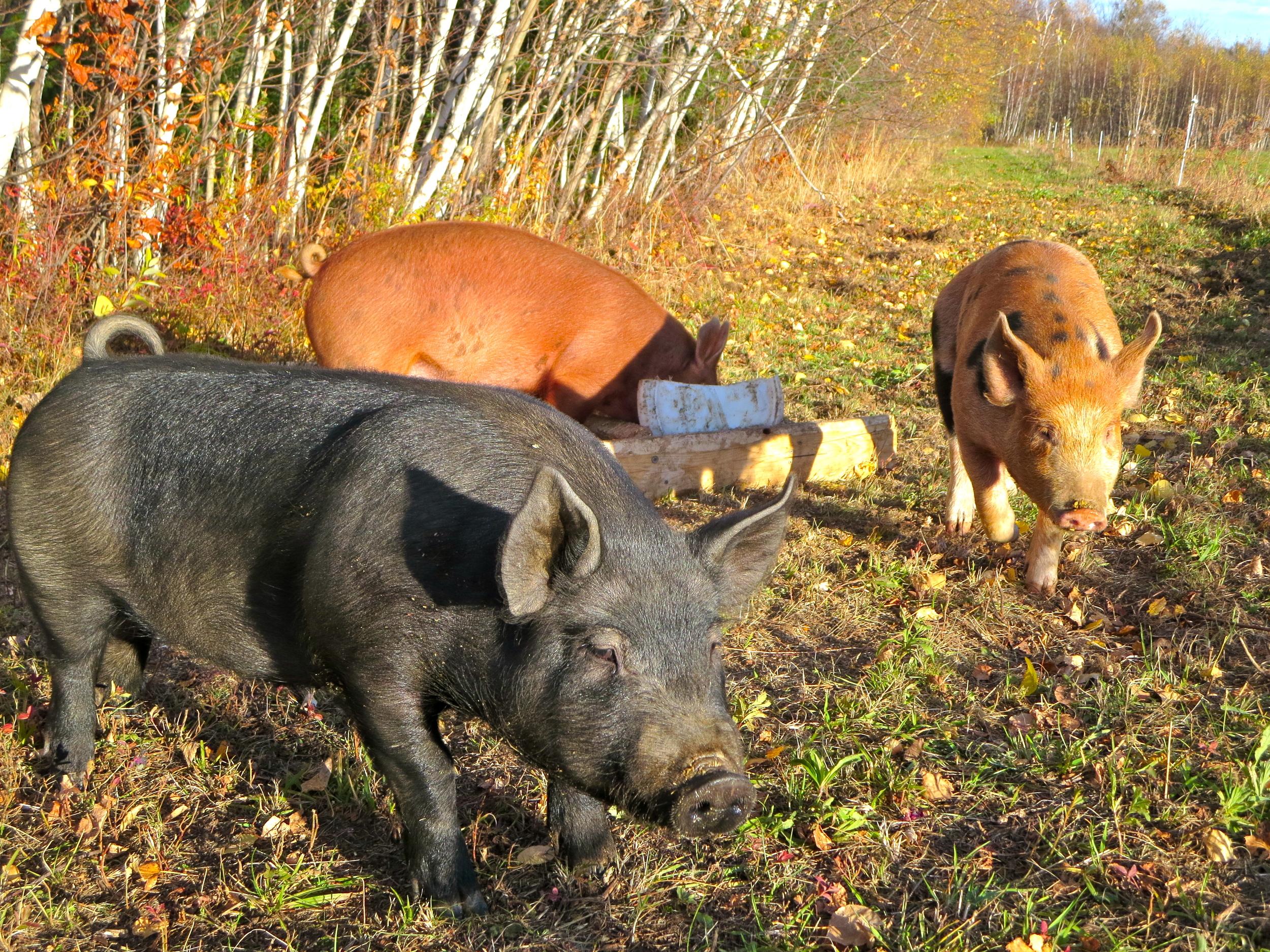 Sidehill-Pigs.jpg