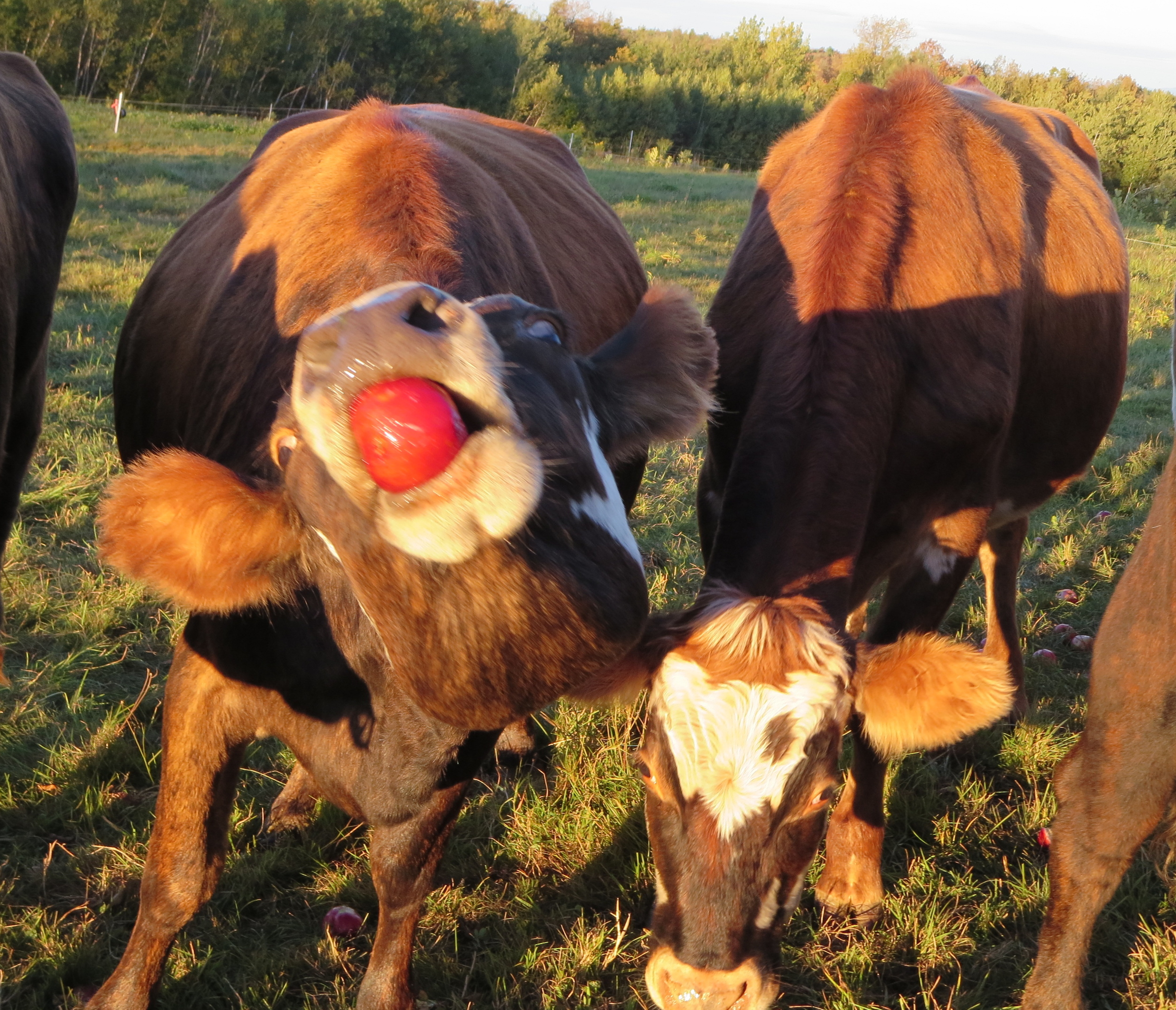 Sidehill Cows love apples almost as much as they love fresh grass!